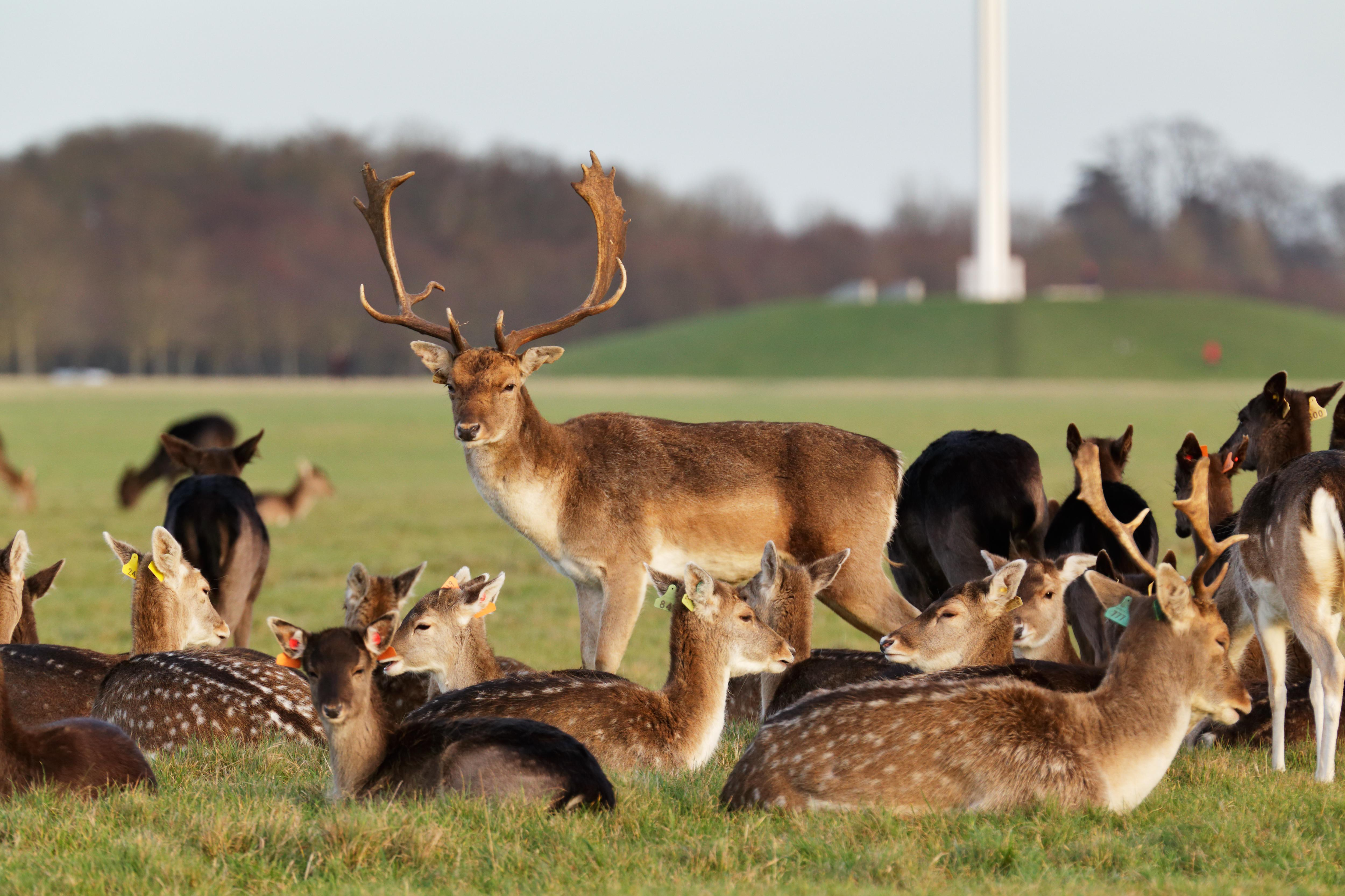 A herd of deer in the Phoenix Park in Dublin Ireland