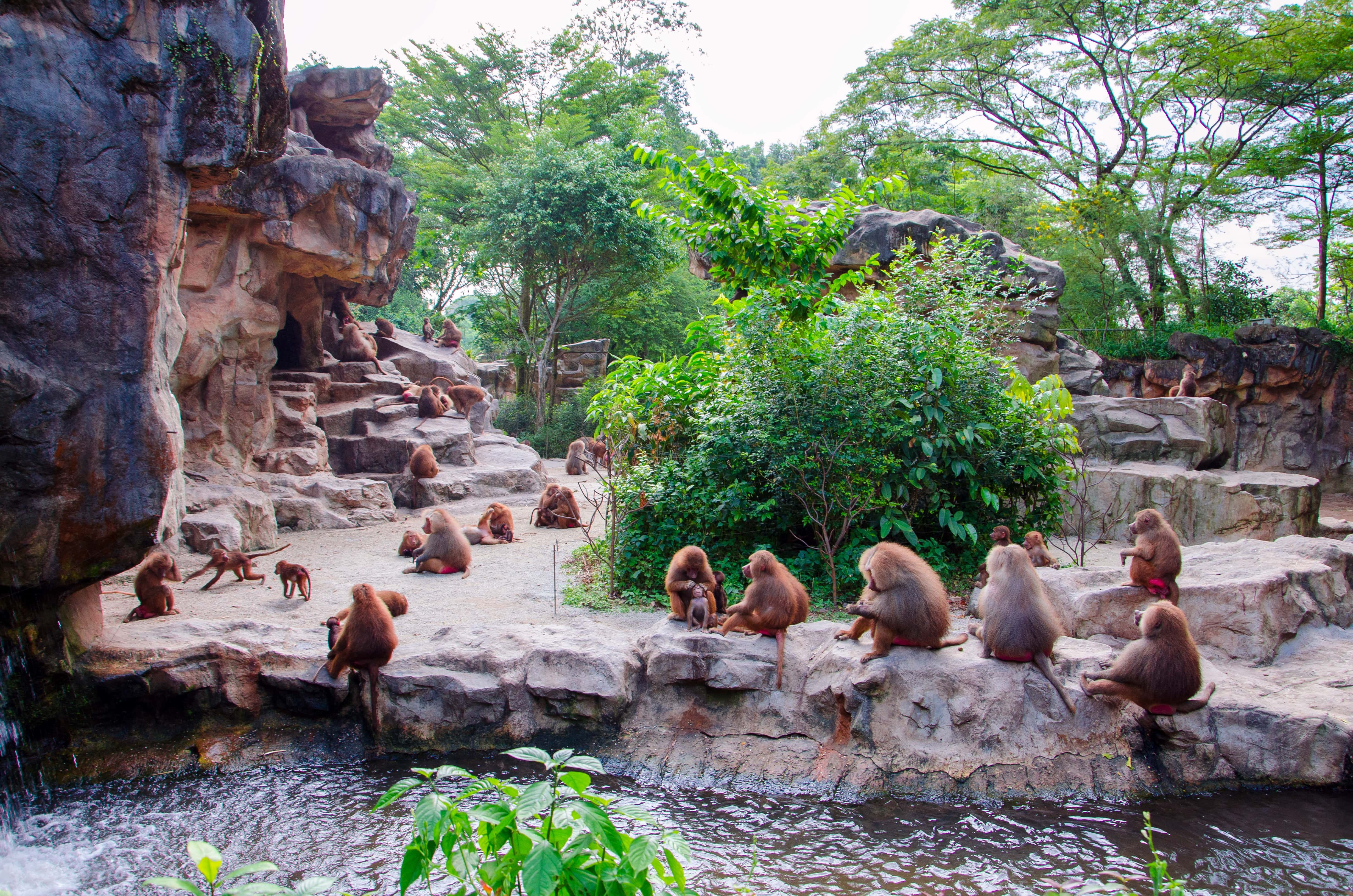 Hamadryad monkeys Singapore zoo Singapore