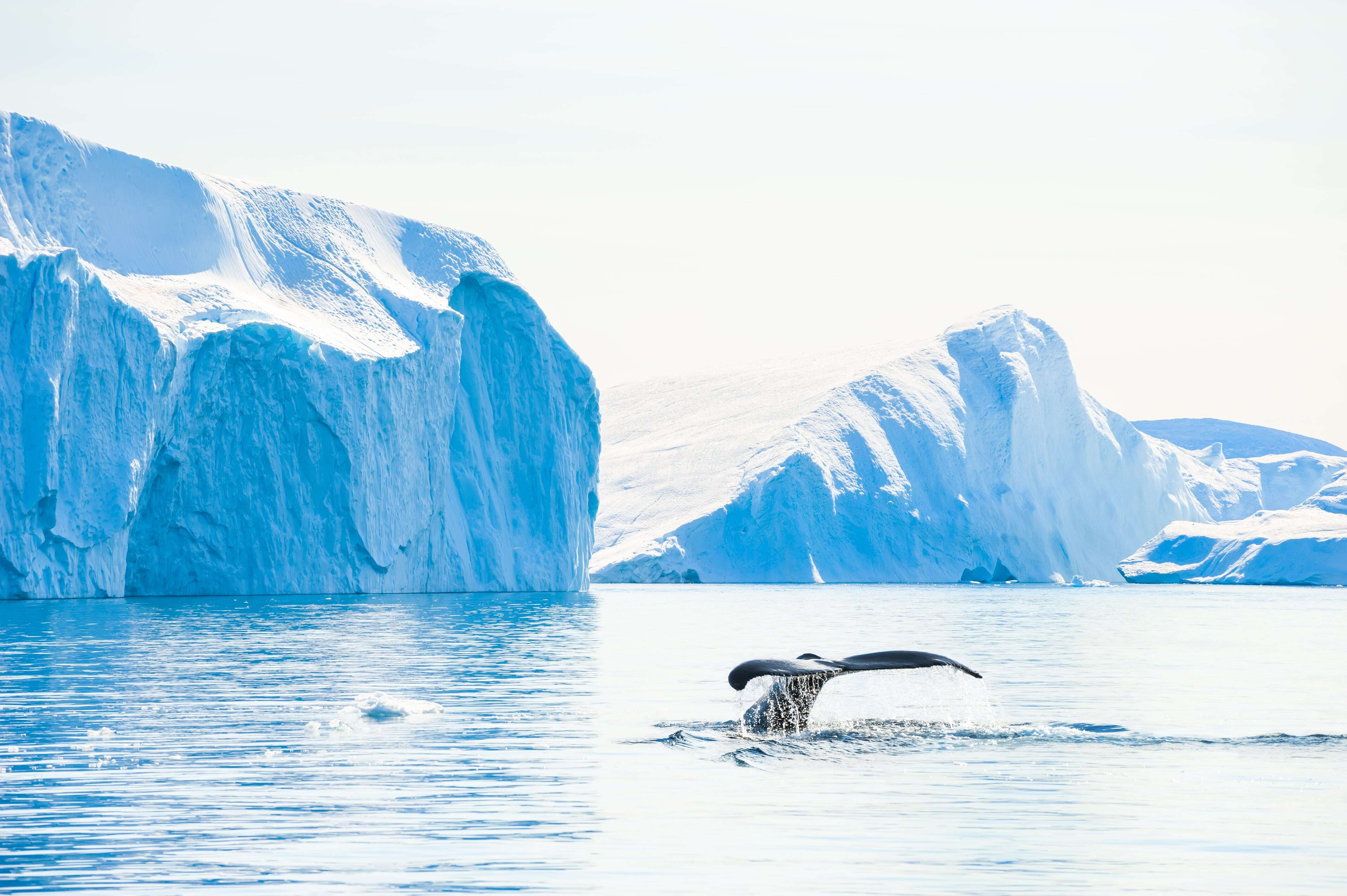 Humpback whale Ilulissat Greenland
