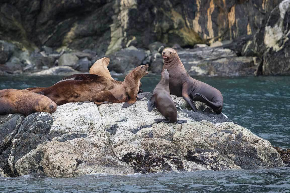 SBN ABC RSAY17 Steller Sea Lions Inian Islands Alaska