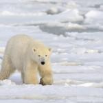 Silversea Silver Cloud polar bear
