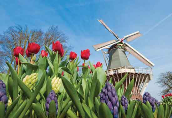 Tulips in Amsterdam in Spring