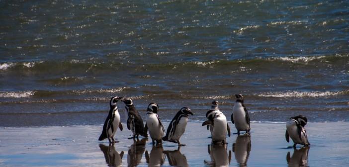 Cape Horn Penguin
