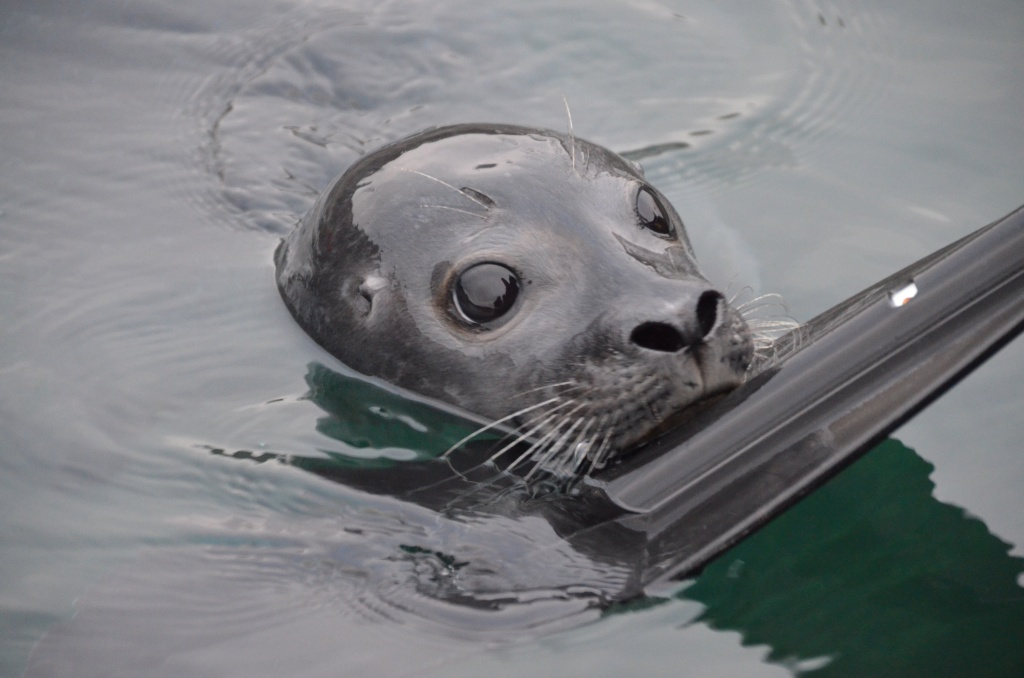 Kayaking with seal - Charlotte Caffrey