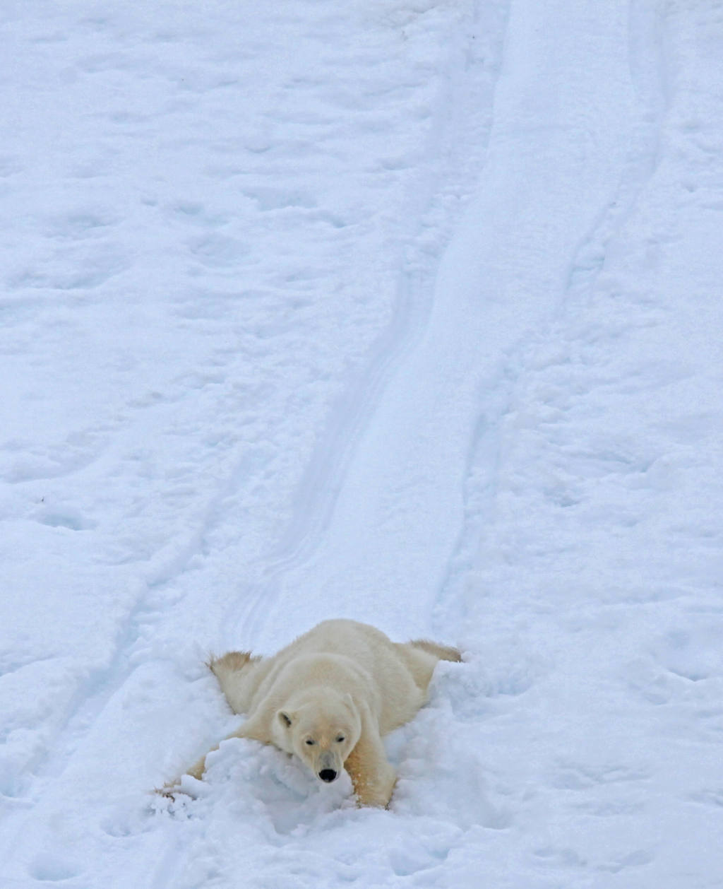 Polar Bear - Stuart Ward