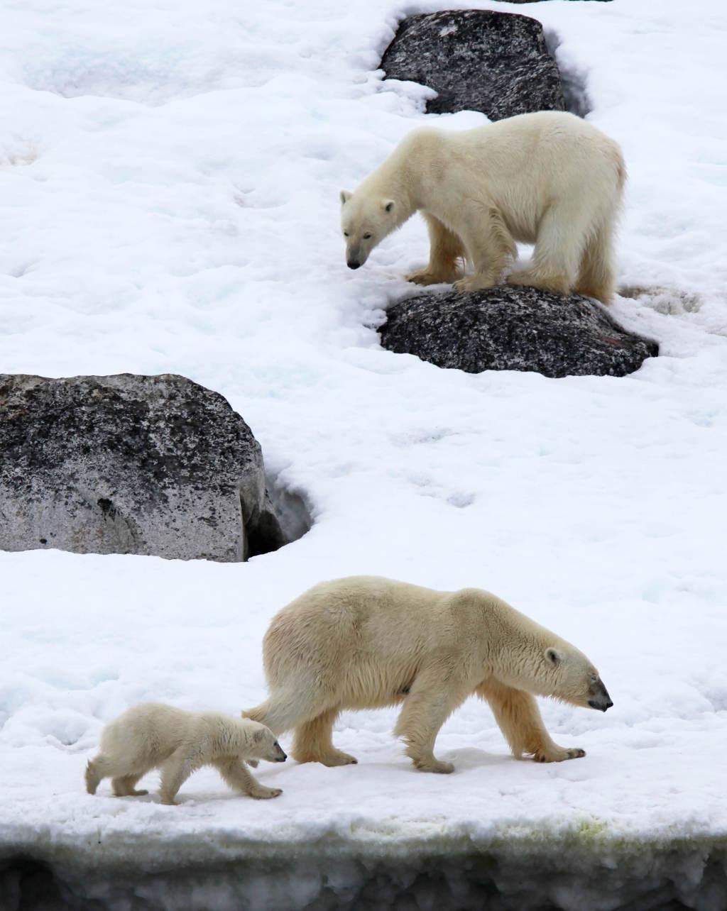 Polar Bear family - Stuart Ward