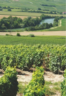 Champagne - vineyards