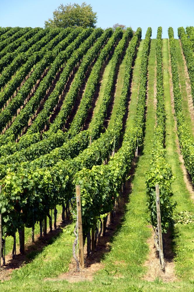 Rhine river vineyard
