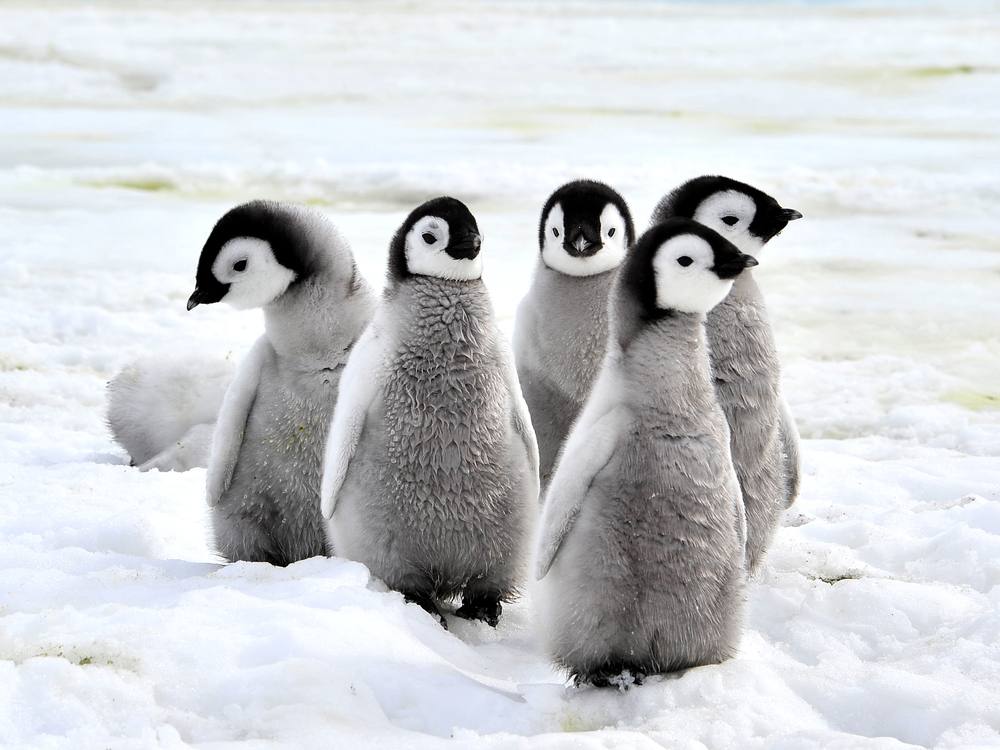 Penguin chicks antartica