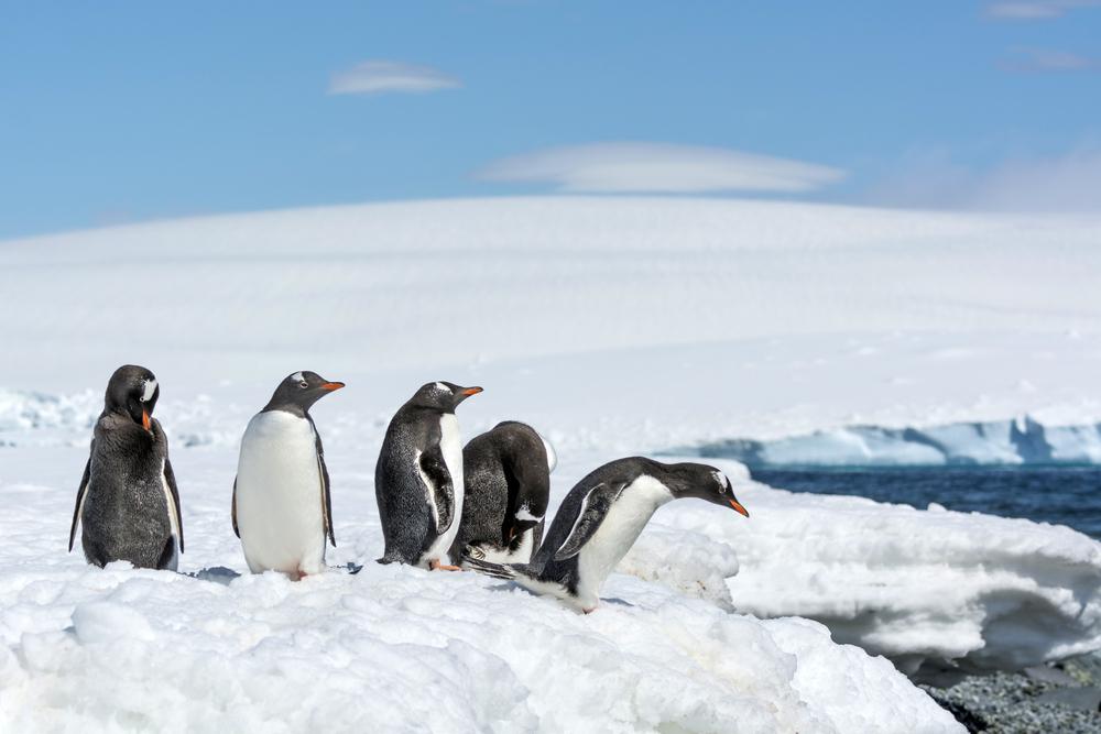 Antartica - Penguin