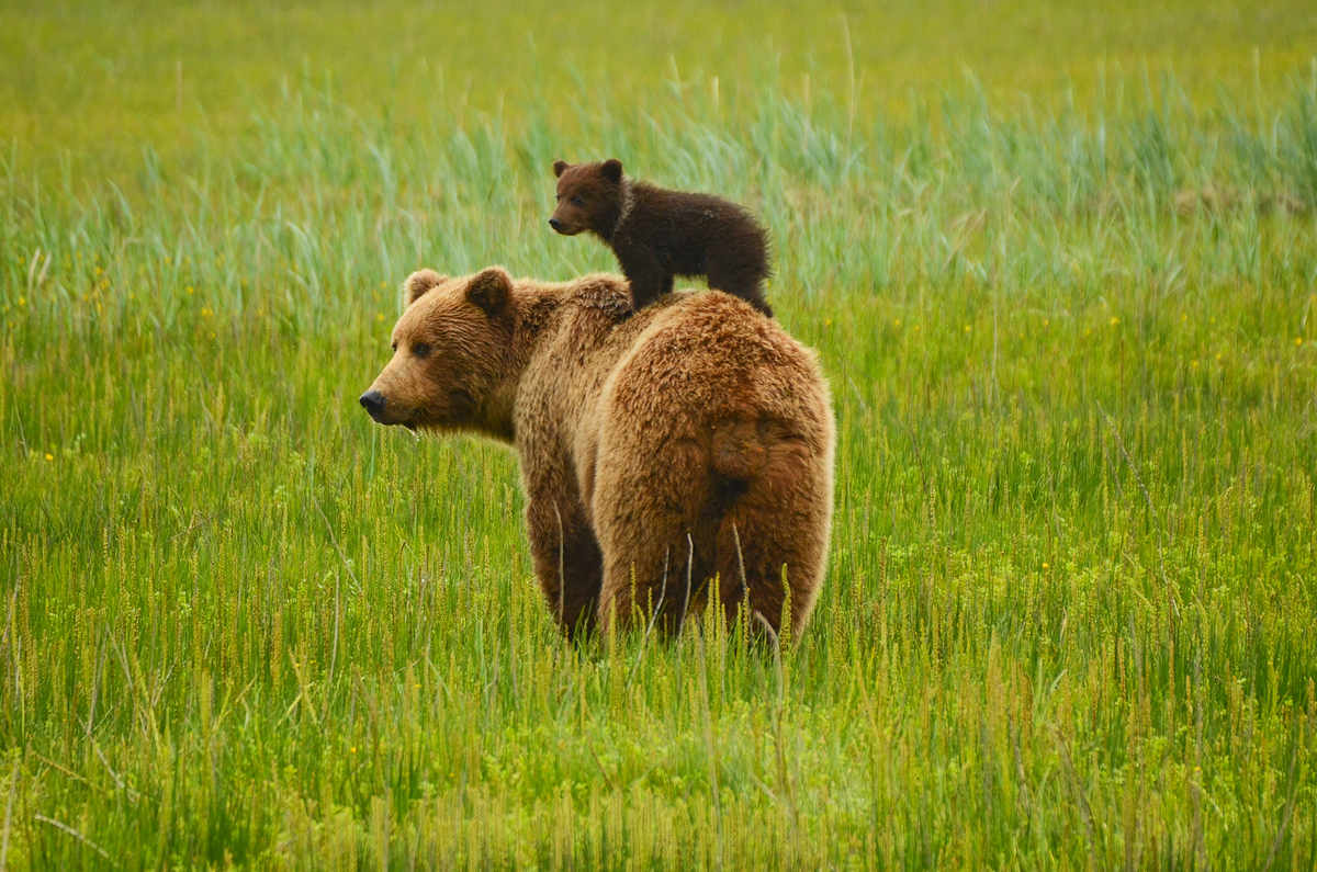 Coastal Bears