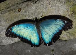 Ecuador - blue morpho