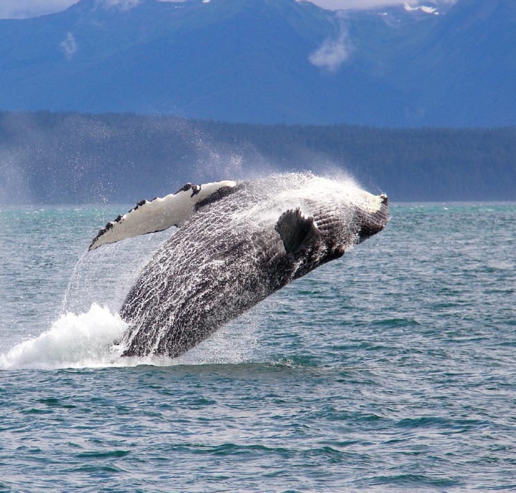 Jumping whale in Alaska