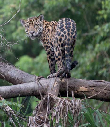 Leopard - Amazon