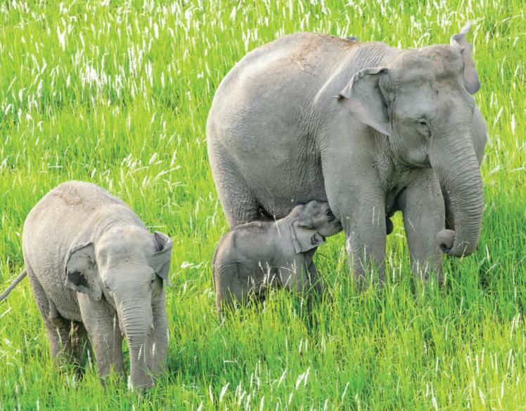 Elephants - India