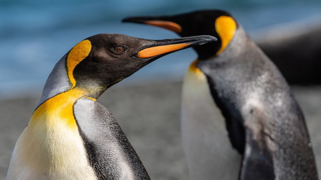 Antartic penguins