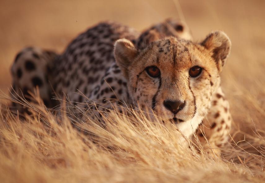 Cheetah - South Africa