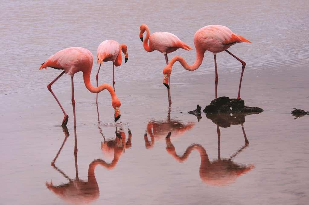 Flamingos - Galapagos