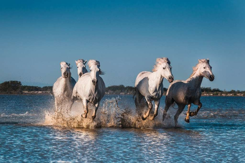 Horses in Camargues