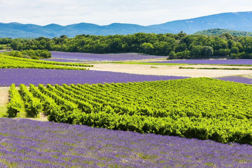 Rhone lavender fields