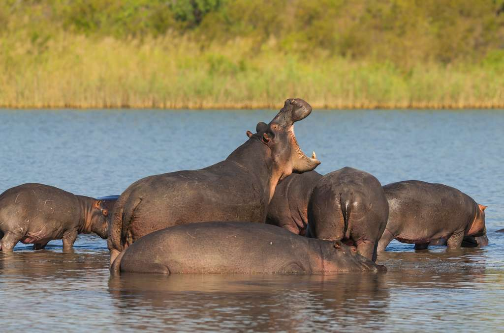Hippopotamus - Africa