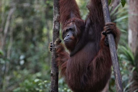 Silversea, Borneo, photography: copywright orangutanodysseys.com