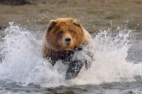 Alaska bear in water