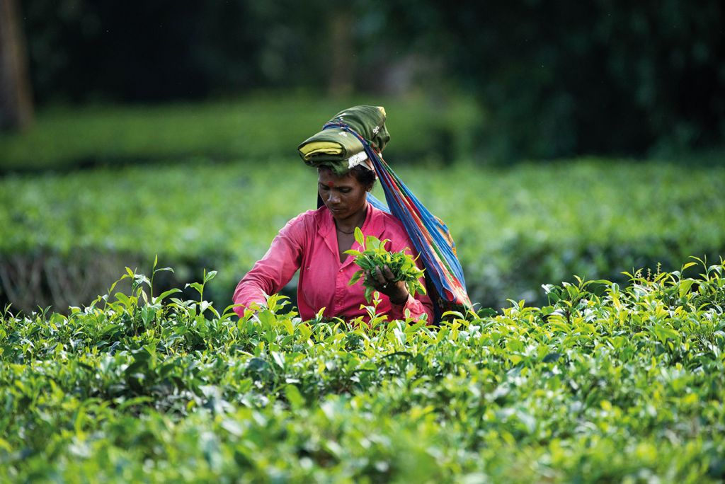a woman picks tea in Assam, the tea capital of the world