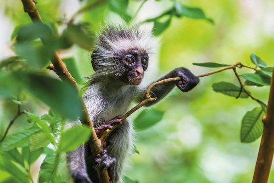 Rare red colobus monkey sitting in the trees