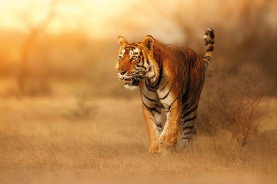 The spectacular bengal tiger
