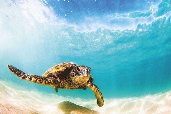 Wildlife cruises: Sea turtle in the Pacific Ocean