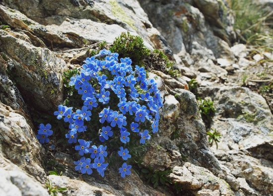 Blue poppies in the Arctic-Alpine Botanic Garden, northern Norway