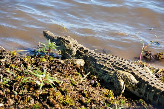Crocodile by water at Chobe National Park in Botswana, African safari cruise