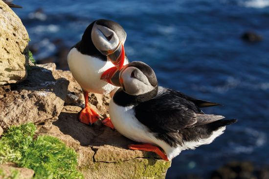 Puffins in Iceland are among the incredible wildlife in Iceland