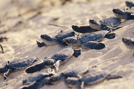 Sea turtles hatching on Galapagos beach