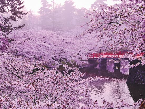 Cruise to Japan: Cherry blossoms