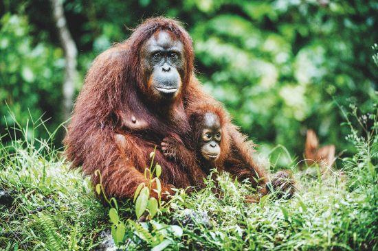 Wildlife cruises: Orangutans