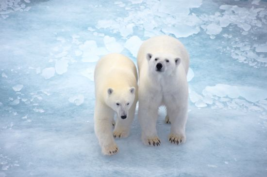 National Geographic Ponant cruise: Polar bears