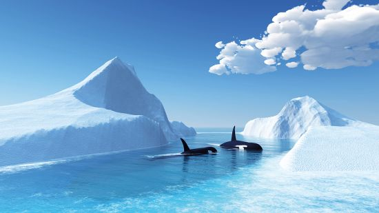 Whales swimming among icebergs