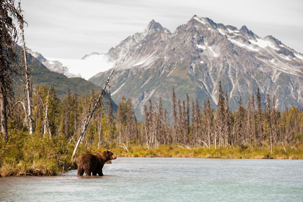 Alaska cruise, bear in wild