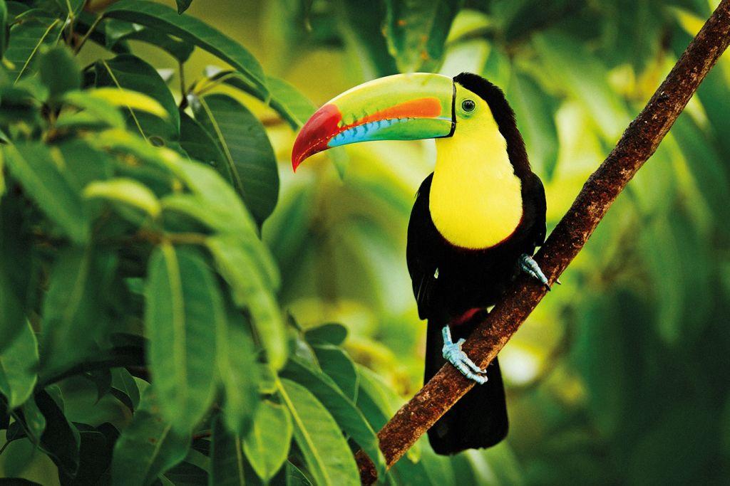 Exotic bird, Costa Rica