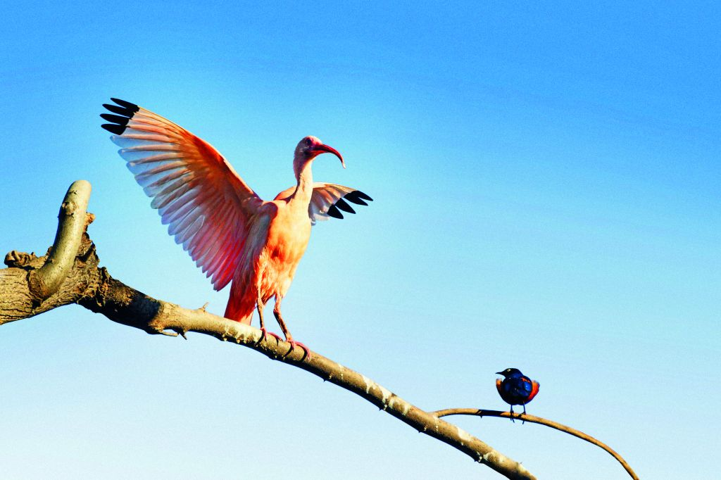 Catch a glimpse of the colourful birds of Suriname