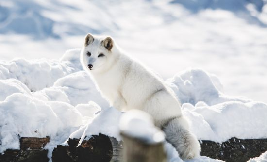 Arctic and Antarctica cruise; Arctic fox