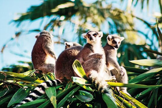 Adventure holidays: lemurs in Madagascar