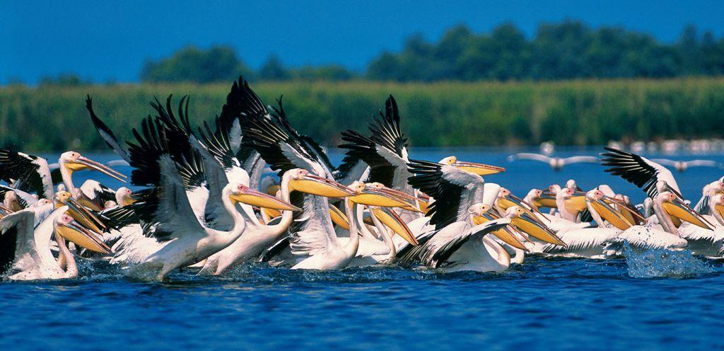 Danube river cruise: Danube Delta pelicans